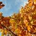 autumn-oak