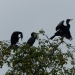 rsz_1cormorants_at_rest