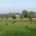rsz_south_devon_cattle_on_kings_marsh