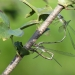 rsz_willow_emerald_egg_laying