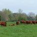 Cattle-Return-to-Kings-Marsh