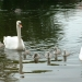 Cygnets out in the big world