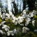 cherry-blossom-in-queen-elizabeth-ll-plantation