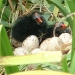 hatching-moorhen-chicks
