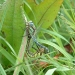 hairy-dragonflies-mating