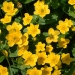 marsh-marigolds