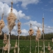 rsz_bulrush_seeding_may_2013
