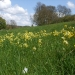 rsz_cowslips_on_hackstead_meadow_2