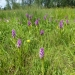 rsz_early_marsh_orchids