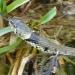 rsz_grass_snake