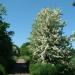 rsz_hawthorn_blossom