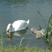 Mute Swan Pen with cynets