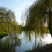 Weeping Willows at the Mill Pool