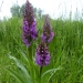 rsz_southern_marsh_orchids