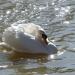 Territorial Cob Swan