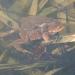 rsz_toads_in_amplexus