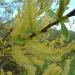 willow-in-flower-1