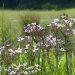 Flowering-Rush