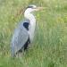 Heron on Freemen's Common