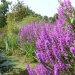 Purple-Loosestrife
