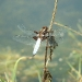 broad-bodied-chaser-male