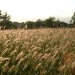 meadow-barley-2