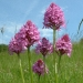 pyramidal-orchids-1