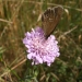 rsz_1ringlet_on_scabious_2013
