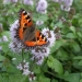 rsz_small_tortoiseshell_on_water_mint