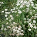 tubular-water-dropwort-on-sudbury-common-lands