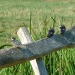 young-swallows-on-fullingpit-meadows