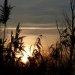 Friars-Meadow-Reeds