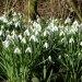 Snowdrops-in-Queen Elizabeth II-plantation