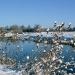 Snowy Teasels - Kings Marsh