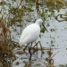 rsz_little_egret