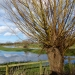 Pollard Willow on Kings Marsh