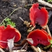 Scarlet Elf Cups