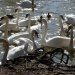Swans at Brundon